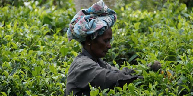 sri-lanka-tea harvest.jpg